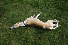 Drying Off in the Grass (DiamondBonz) Tags: dog pet grass hound dry whippet off roll spanky
