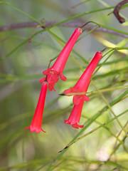 Firecracker plant (M.D. Photos) Tags: russeliaequisetiformis firecrackerplant