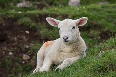 Baa! (dark_myson) Tags: spring dale derbyshire lamb baa monsal brushfield