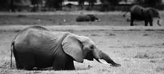 amboseli(in explored 17/06) (tsd17) Tags: africa elephant kenya ambosel