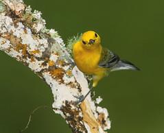 Prothonotary Warbler, male (AllHarts) Tags: ngc npc spac specanimal hollyspringsms naturesspirit naturescarousel thesunshinegroup maleprothonotarywarbler