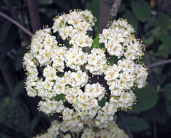 Viburnum sp. (Horseshoe Curve, Pennsylvania, USA) 3 (James St. John) Tags: viburnum flower flowers horsehoe curve altoona pennsylvania plant plants