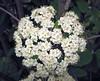 Viburnum sp. (Horseshoe Curve, Pennsylvania, USA) 3 (James St. John) Tags: viburnum flower flowers horsehoe curve altoona pennsylvania plant plants