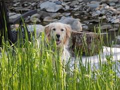 Sunny 25/52 (Lianne (calobs)) Tags: dogs goldenretriever for weeks 52