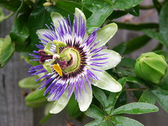First bloom this year on our Passion Flower (yyyrlh) Tags: macro minolta passiflora passionflower aftertherain dimage7i aprslapluie nachdemregen