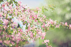 Confidence is silent.  Insecurities are loud. (Sandra H-K) Tags: pink flowers tree green nature outside outdoors spring flora soft dof bokeh pastel branches blossoms depthoffield bee softfocus serene springtime