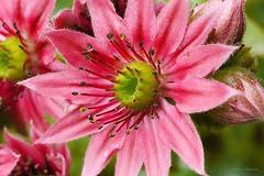 Cacte (fred'eau) Tags: flower fleurs 50mm pistil panasonic ptale cacte gh1