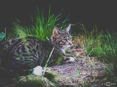 Stitch (piccart) Tags: nature cat 50mm wildlife kitty kit katze kater tier
