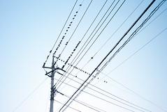 L1006029c (haru__q) Tags: leica bird electric cable m8 jupiter12 jupiter 電線 鳥 electriccable