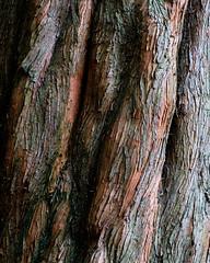 Moorlands redwood bark (alh1) Tags: york england woods bark naturereserve northyorkshire dawnredwood yorkshirewildlifetrust