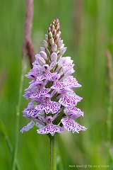 Heath Spotted Orchids on the last remaining acid bog and heathland habitat in Kent - Dactylorhiza maculata (favmark1) Tags: kent orchids bog dactylorhizamaculata wildorchids heathspottedorchid britishorchids acidbog kentorchids