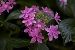 Hydrangea. macrophylla f. normalis (Jim Mayes) Tags: macro digital canon eos tamron 90mm tamronspaf90mmf28dimacro