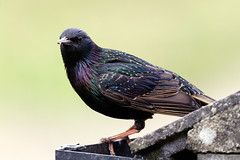 The Underappreciated Starling (Unintended_Keith) Tags: roof bird nature garden wildlife starling colourful underappreciated canon7dmkii sigma150600mms