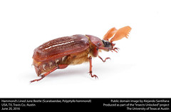 Hammond's Lined June Beetle (Scarabaeidae, Polyphylla hammondi) (insectsunlocked) Tags: coleoptera scarabaeidae polyphylla melolonthinae linedjunebeetle polyphyllahammondi phammondi hammondslinedjunebeetle