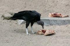 Vulture, lunch time (dididumm) Tags: bird meat vulture vogel fleisch geier ifiranthezoo