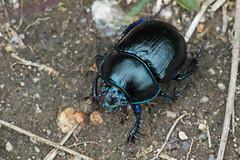 Dor Beetle (Philip McErlean) Tags: blue ireland black nikon beetle 150 dor northern silentvalley codown raynox elytra geotrupesstercorarius d3200 dcr150