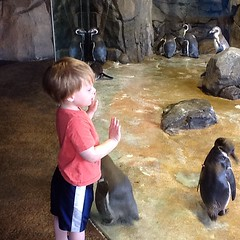 "Paul Watches Penguins at the Kansas City Zoo • <a style=""font-size:0.8em;"" href=""http://www.flickr.com/photos/109120354@N07/27821710096/"" target=""_blank"">View on Flickr</a>"