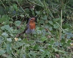 le fier de la tribu (doubichlou) Tags: rouge gorge oiseau bird animal nature yonne bourgogne burgundy france