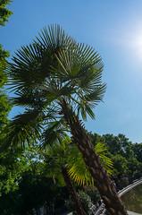 Palmtrees in Vienna (maxst001) Tags: 2016ayearinpicures 2016yip 4bezirk austria baum europa frallewieneryipmembers oesterreich onmywaytowork resselpark sommer staedteundplaetze teich vienna wieden wien vienna365