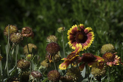 _SAF7442 (sara97) Tags: park flowers nature outdoors missouri saintlouis forestpark citypark urbanpark photobysaraannefinke copyright2016saraannefinke