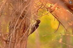 Nuttall's woodpecker 5 (ahmed_eldaly) Tags: california usa nature birds landscape photography sandiego wildlife birding pacificocean digitalcameraclub egyptianphotographer