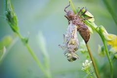 Emergence d'une libellule (pierre-david) Tags: macro emergence insecte ete libellule matin