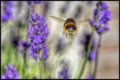 179/366 (jim-green777) Tags: 366project 2016 june insects derby nature flying whitetail bee bumblebee fullframe fx nikond610