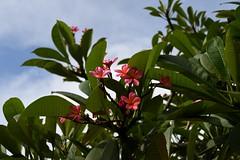 Nusa Dua, Indonesia (Nam__b) Tags: bali flower tree green nature leaves indonesia outdoor