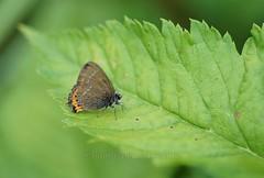 Natur pur (Baumi der Fotomann) Tags: fun tiere natur pflanzen blumen lila grn insekten flgel schwebfliege