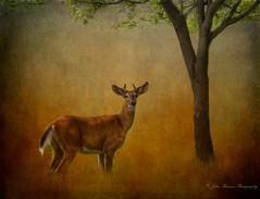 Afternoon shade (John Ronson Photography) Tags: deer textures whitetaileddeer brendaclarke jaijohnson afternoonshade magicunicornverybest