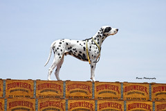 Standing Tall (Parris Photography) Tags: dog dalmation budweiser harringtondelaware parrisphotography