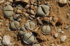 Argyroderma delaetii (Etwin1) Tags: argyroderma argyrodermadelaetii knersvlakte mesembs succulentsinhabitat