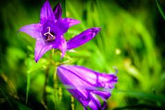 Purple flower (J.Dillemuth) Tags: purple flower nature vivid beautiful nikon d750 sigma 24105