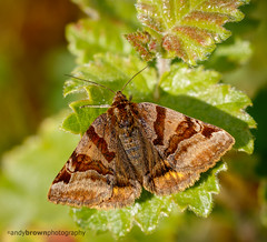Burnet Companion Moth (ABPhotosUK) Tags: macro animals canon wildlife devon moths invertebrates devonwildlifetrust euclidiaglyphica burnetcompanion ef25mmextensiontube meethquarry eos7dmarkii ef100400mmisii