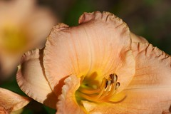 Daylily (Shutter_Hand) Tags: usa naturaleza flower macro fleur flora texas sony flor jardin botanico daylily blomma alpha  blume fiore secretgarden iek weatherford  kukka  mineralwells botanicalpark jardinbotnico jardinsecreto parquebotnico a99  clarkgardens lenscraft texasgem texasjewel sonyaf100mmf28macro miguelmendozamuoz sonyalphaa99 slta99