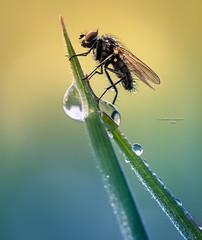 Grasping at straws (Ingeborg Ruyken) Tags: 2016 2016lente 500pxs empel empelsedijk dropbox flickr fly gras grashalm grass green groen insect lente macro may mei morning natuurfotografie ochtend spring strontvlieg vlieg waterdrop waterdruppel yellowdungfly