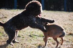 DSC_0029 (juliapee) Tags: dogs spring borderterrier dogsplaying lagotto romangolo