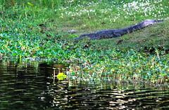 American Alligator, Brazos Bend State Park, Texas (ap0013) Tags: statepark park usa america nikon texas state bend gator tx alligator tex american americanalligator brazosbend brazos d90 nikond90 brazosbendtexas