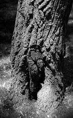 gnarly trunk (kkurtz) Tags: shadow bw chicago tree nature canon illinois spring bokeh trunk logansquare chicagoist palmersquare