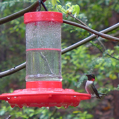 Ruby-throated Hummingbird (Archilochus colubris) male (Tiggrx) Tags: male bird hummingbird tennessee feeder shadygrove rubythroatedhummingbird seviercounty archilochuscolubris