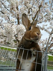 P1060864 () Tags: rabbit bunny usagi  minirex