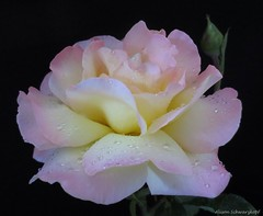 First Blush (Lissyanne (fighting pain daily)) Tags: plant flower macro nature rose garden petals blossom pastel raindrops rosebush onblack simplyflowers awesomeblossoms amazingdetails unforgettableflowers silveramazingdetails onblacn