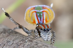 _MG_7077 Peacock Spider Maratus volans (Jurgen Otto) Tags: