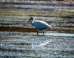Espátula -  Platalea leucurudia (ibzsierra) Tags: bird salinas ibiza ave pajaro eivissa oiseau baleares parquenatural espatula digitalcameraclub blinkagain