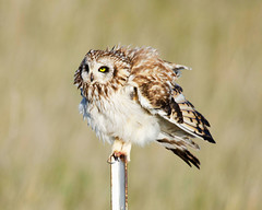 short eared owl (Pattys-photos) Tags: idaho shortearedowl marketlakewildlifemanagementarea