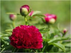 Première fleur de pivoine