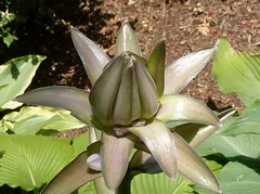 Hosta-to-be (Lorianne DiSabato) Tags: summer flower ma massachusetts bud hosta newton waban