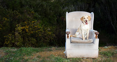 Bella's Throne (Wozza_NZ) Tags: newzealand dog abandoned puppy chair junk labrador walk seat rubbish dudley rest throne upperhutt thrownout rimutakaincline spanador