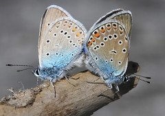 Blues mating (Wild Chroma) Tags: amanda butterfly sweden pair insects mating tyresta amandus polyommatus polyommatusamandus agrodiaetusamanda silverblåvinge agrodiaetus