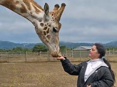 Kathryn Feeding Jagger the Rothschild's giraffe (Giraffa camelopardalis rothschildi) - Olympus E-410 - Zuiko 40-150mm F/4.5-5.6 ED (divewizard) Tags: california woman ed feeding eating olympus kathryn dslr preserve zuiko 43 pointarena jagger mendocinocounty rothschildsgiraffe giraffacamelopardalisrothschildi zd fourthirds 40150mm f4556 baringogiraffe animalpreserve e410 olympuse410 ugandangiraffe 95468 bbryanpreserve thecityofpointarena zuiko40150mmf4556ed